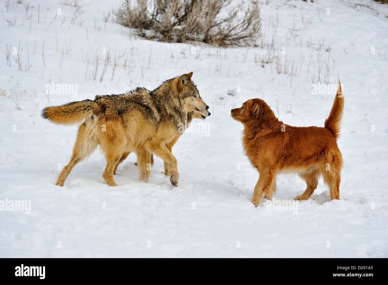 Gray wolf (Canis lupus) interacting with domestic dog Golden retriever (Canis familiaris), captive raised specimen, - Stock Image