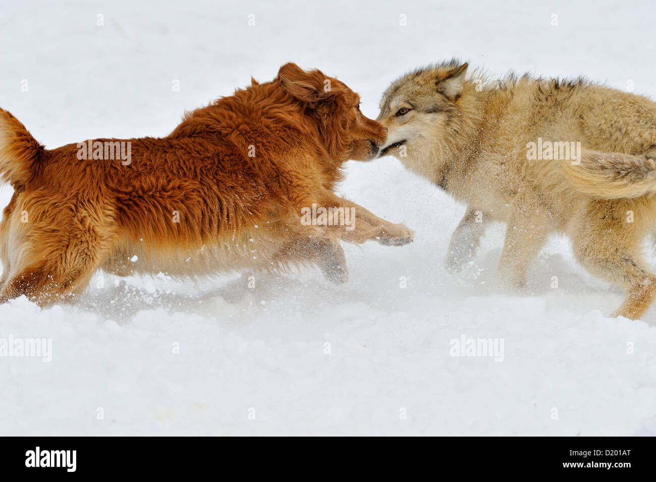 Gray wolf (Canis lupus) interacting with domestic dog Golden retriever (Canis familiaris), Bozeman, Montana, USA - Stock Image