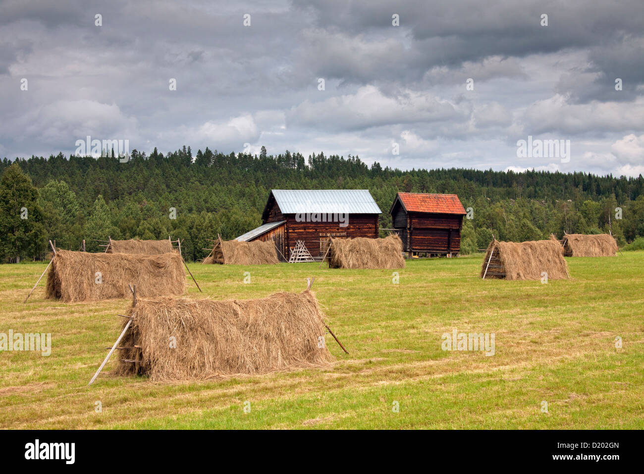Hayricks with cut grass drying on hayfield and wooden barns at Jämtland, Sweden, Scandinavia - Stock Image