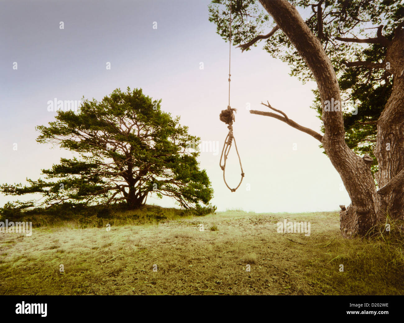 Rope knotted to a sling, hanging from the branch of a pine tree, Skane, Sweden, Europe - Stock Image