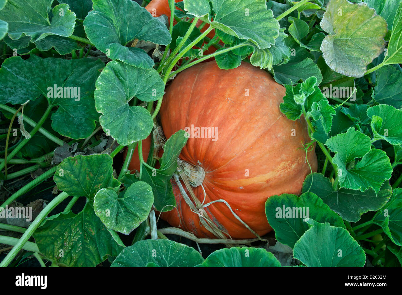 Pumpkin  'Big Max' growing on vine. - Stock Image