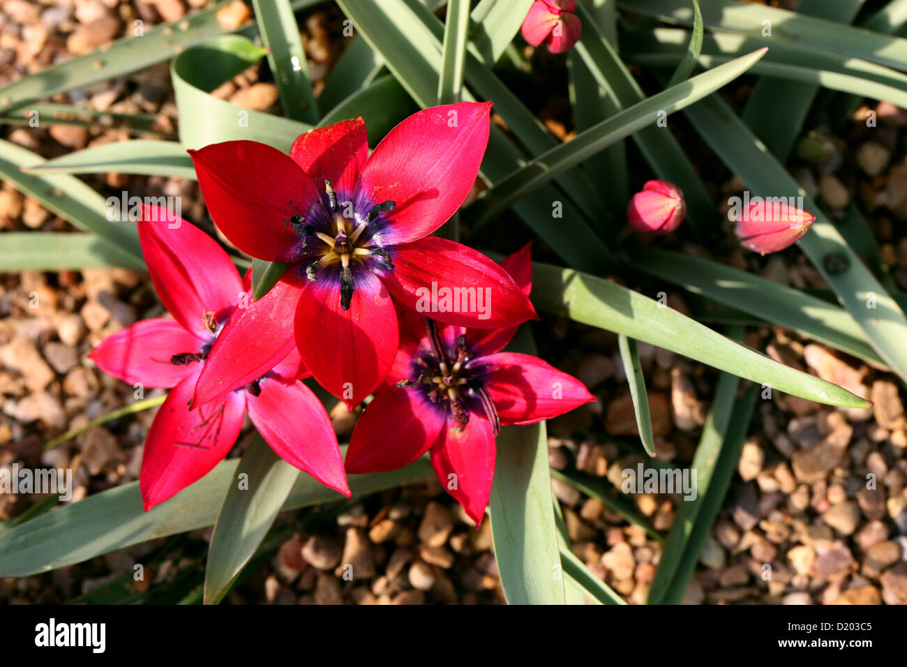 Tulipa humilis 'Alanya', Liliaceae. A Red Tulip from Iran and Turkey - Stock Image
