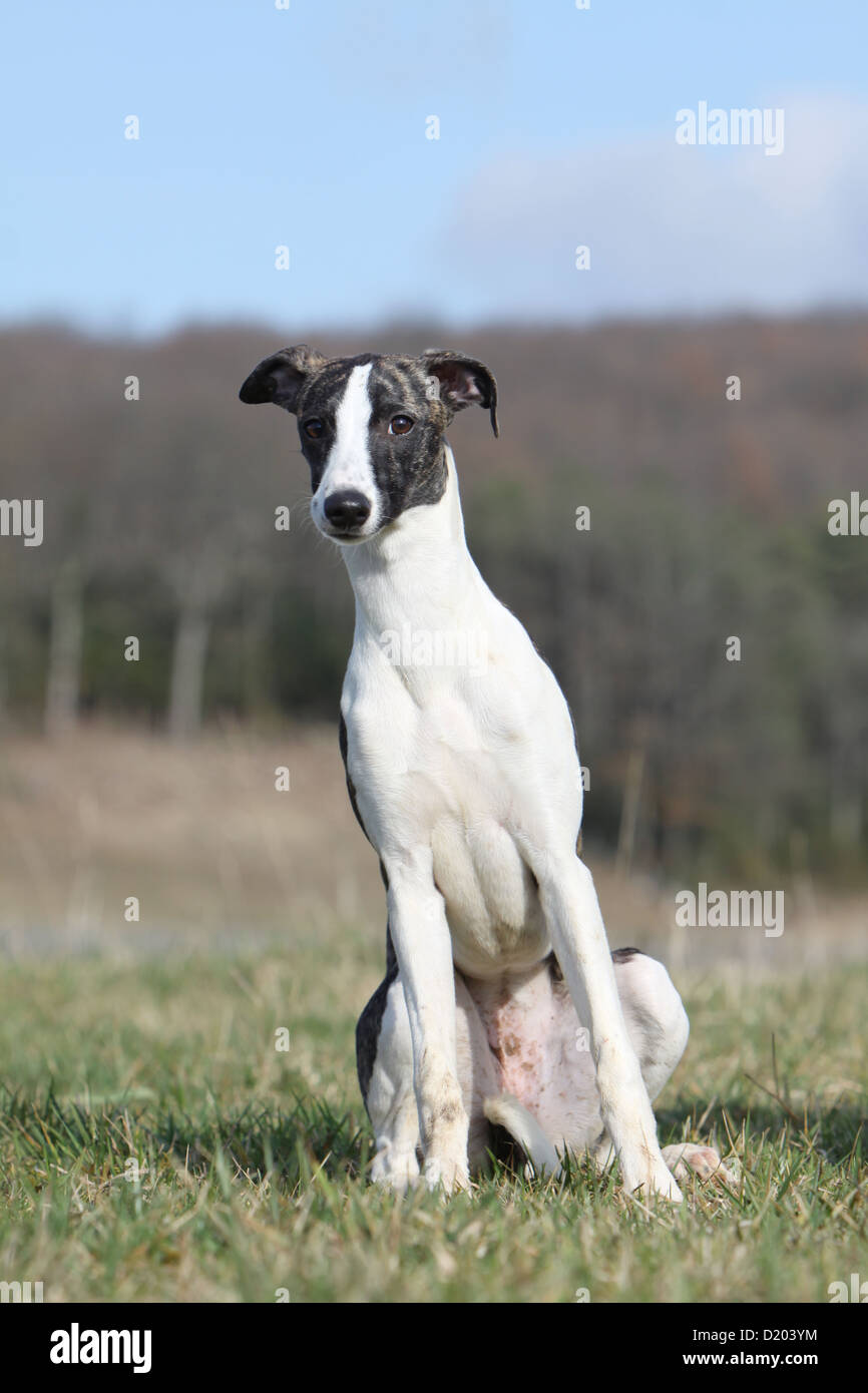 Dog Whippet (English Greyhound Miniature) adult sitting in a meadow - Stock Image