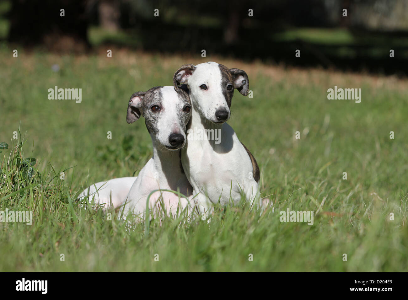 Two Whippets Stock Photos Amp Two Whippets Stock Images Alamy