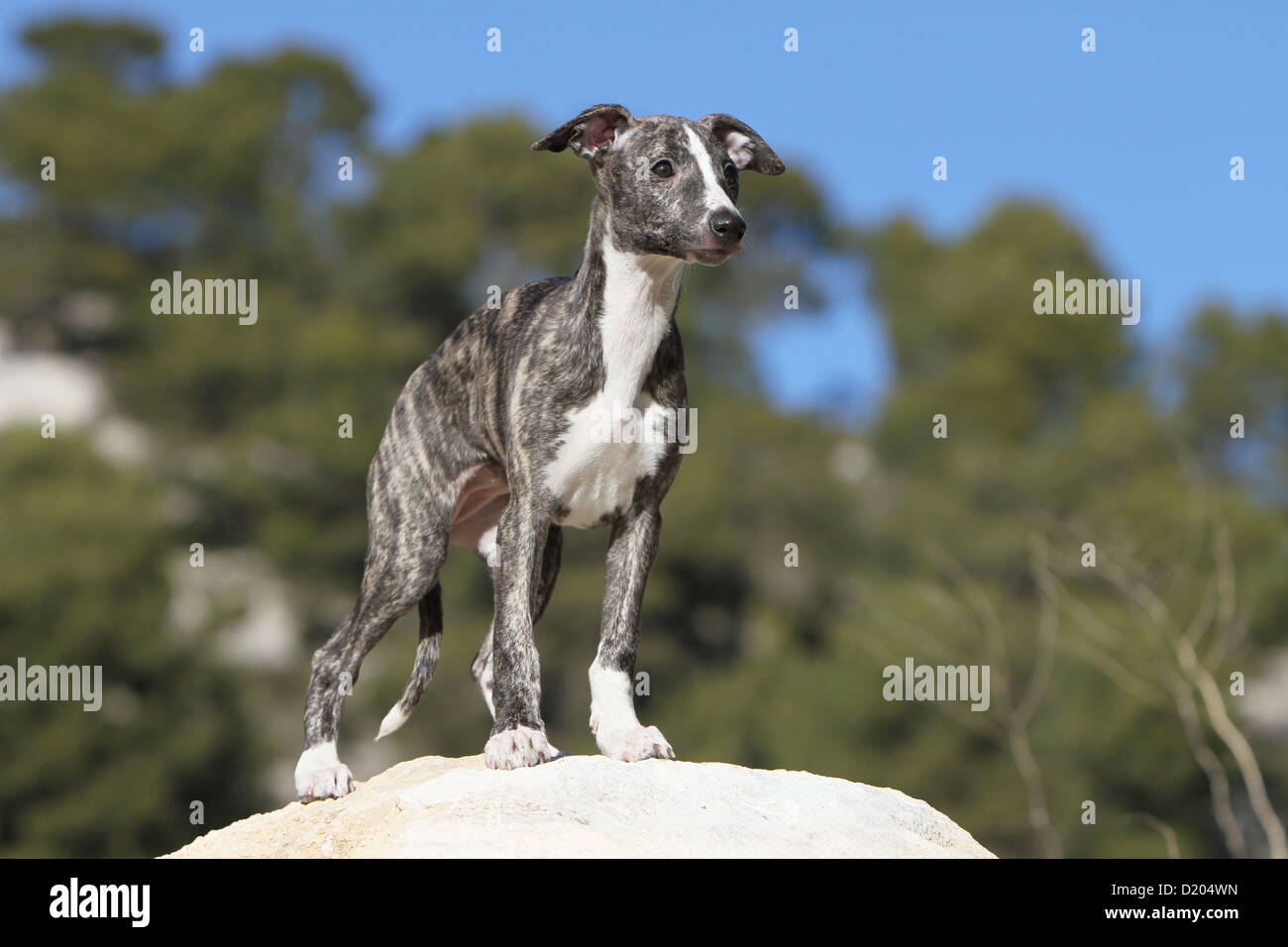 Italian English Animsld: Coursing Animals Stock Photos & Coursing Animals Stock