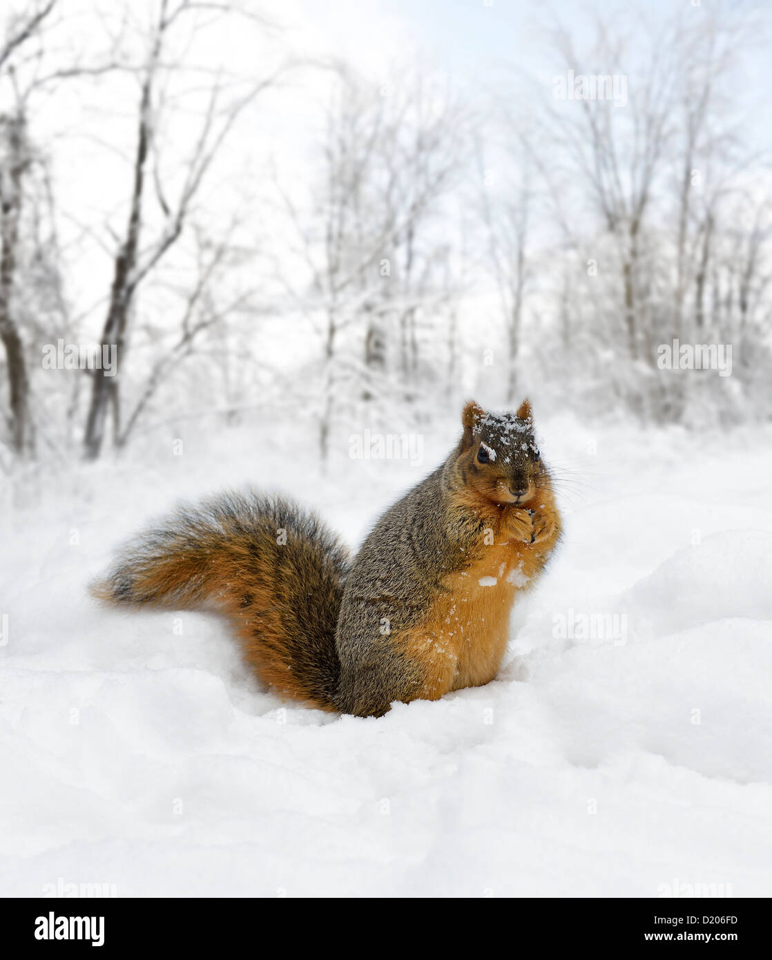 Fox Squirrel On The Snow - Stock Image
