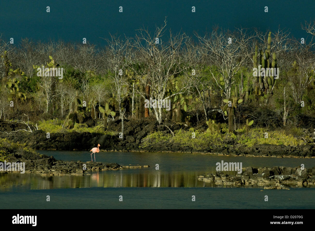 A single pink flamingo shines against a small green-edged lake on Santa Cruz island in the peaceable Galapagos - Stock Image