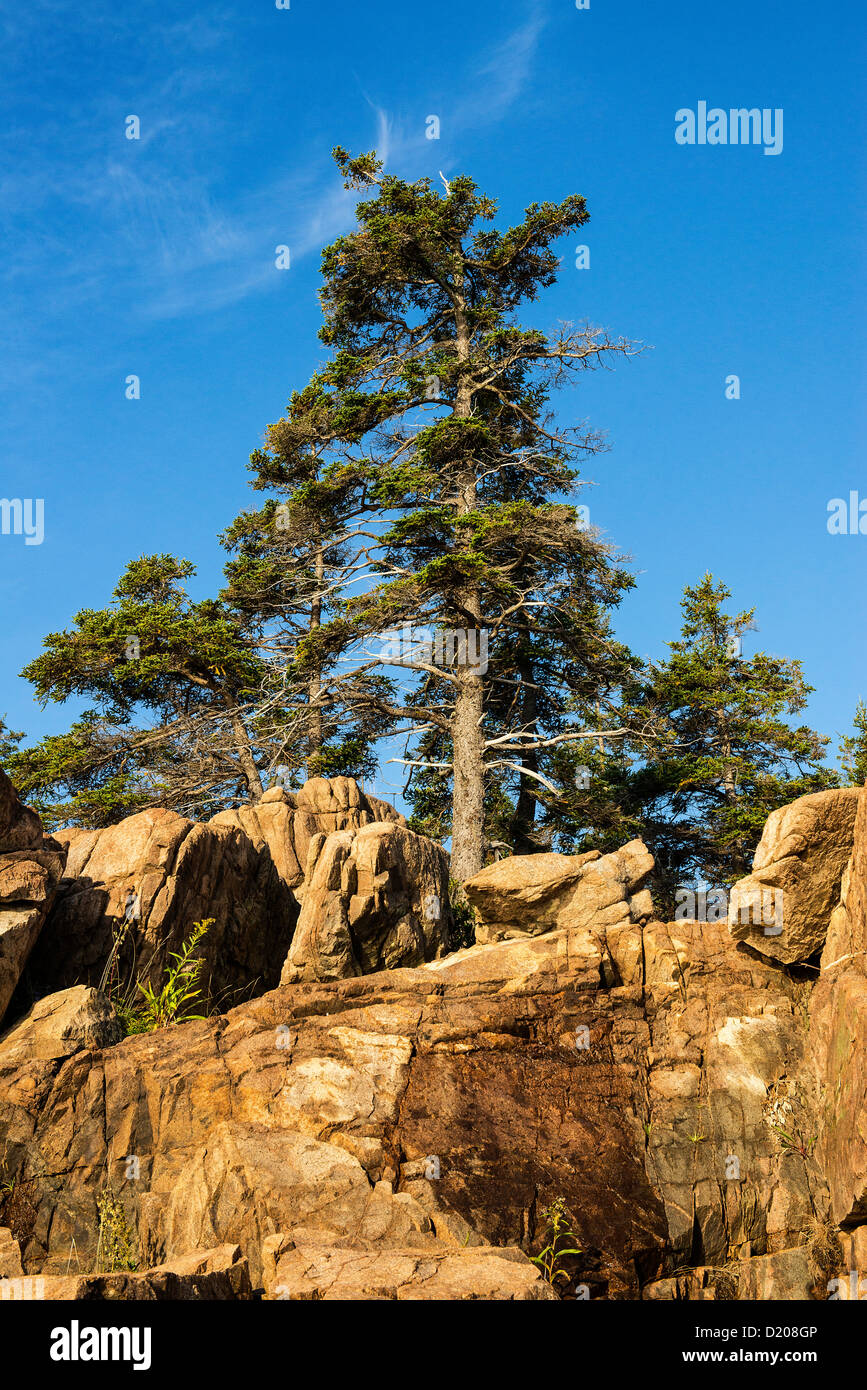 Spruce tree and granite rock, Acadia National Park, Maine, USA - Stock Image