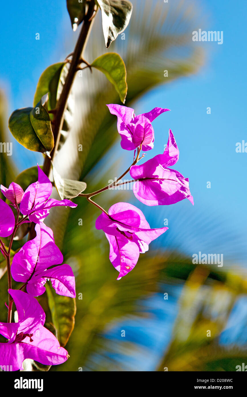 Bougainvillea flowers, Gran Canaria, Canary Islands, Spain - Stock Image
