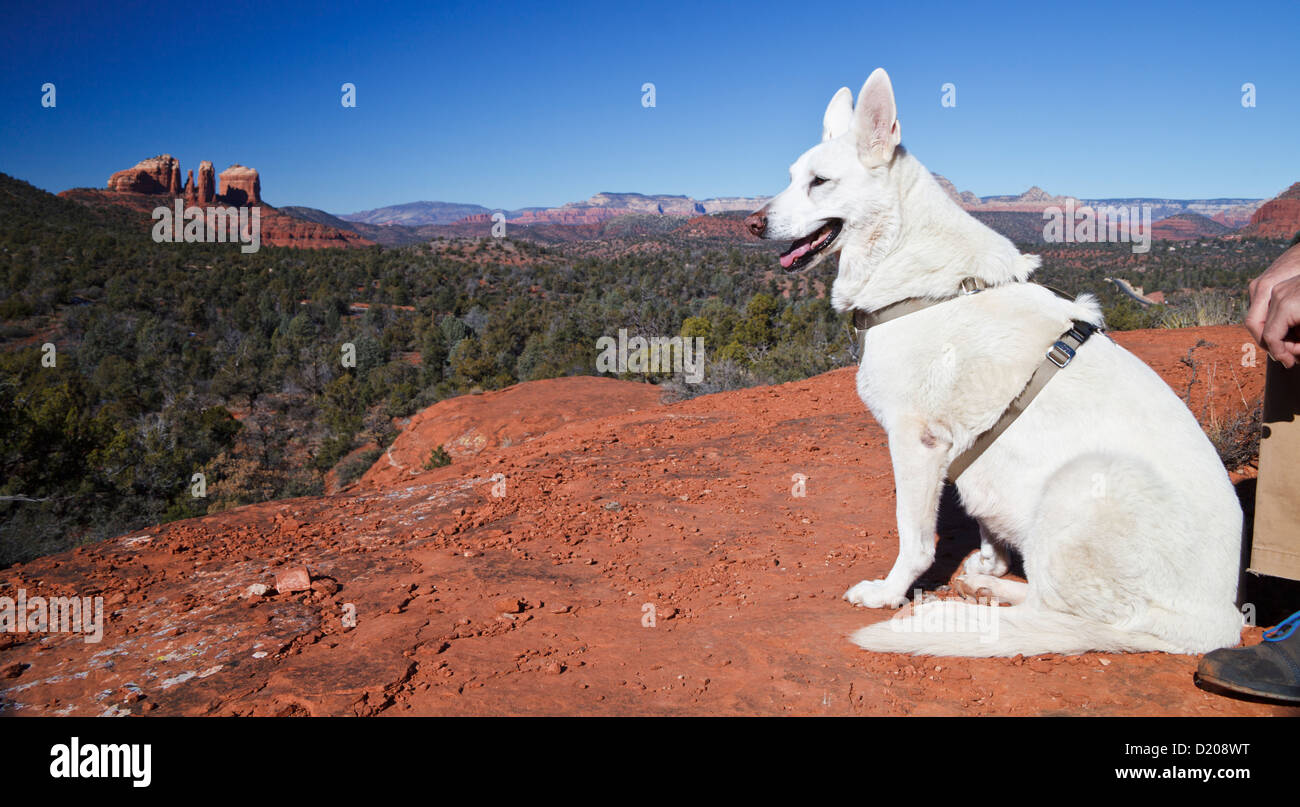 White German Shepherd at Little Bell, with view of Cathedral Rock in Sedona in distance - Stock Image