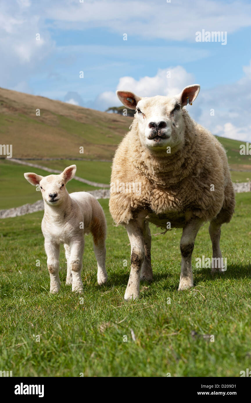 Texel ewe with young lamb in spring. - Stock Image