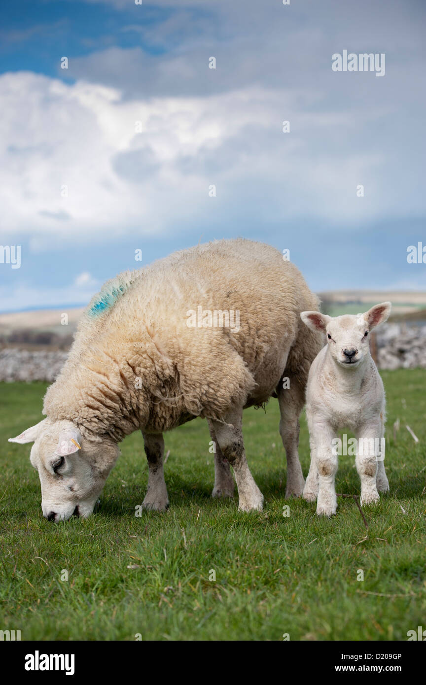 Texel ewe with young lamb in upland pasture. Cumbria, UK. - Stock Image