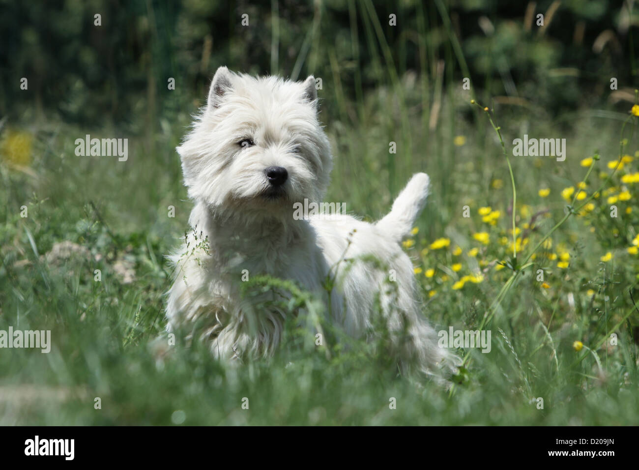 A Westie Stock Photos & A Westie Stock Images - Page 3 - Alamy