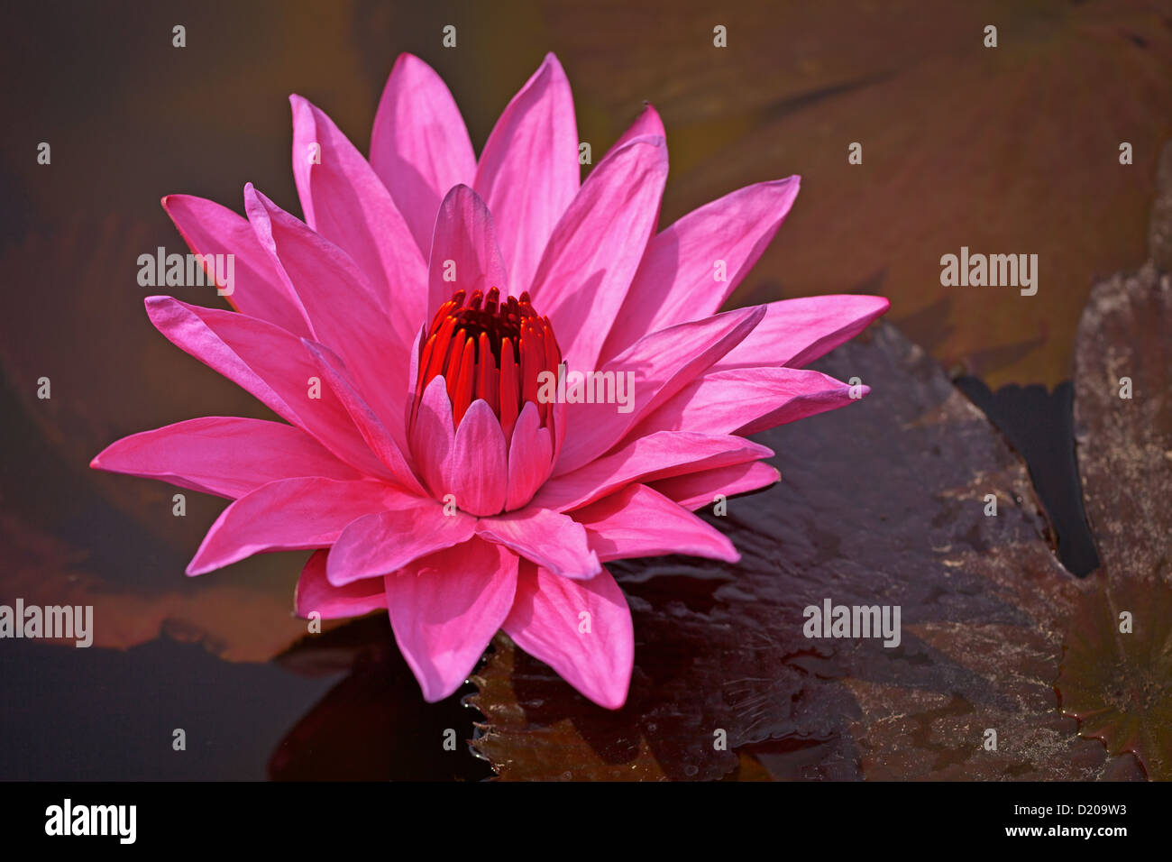 One Big Flower Water Lily Stock Photos One Big Flower Water Lily