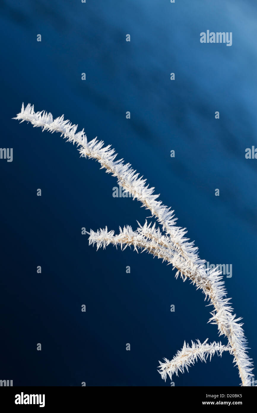 Frosted blade of grass - Stock Image