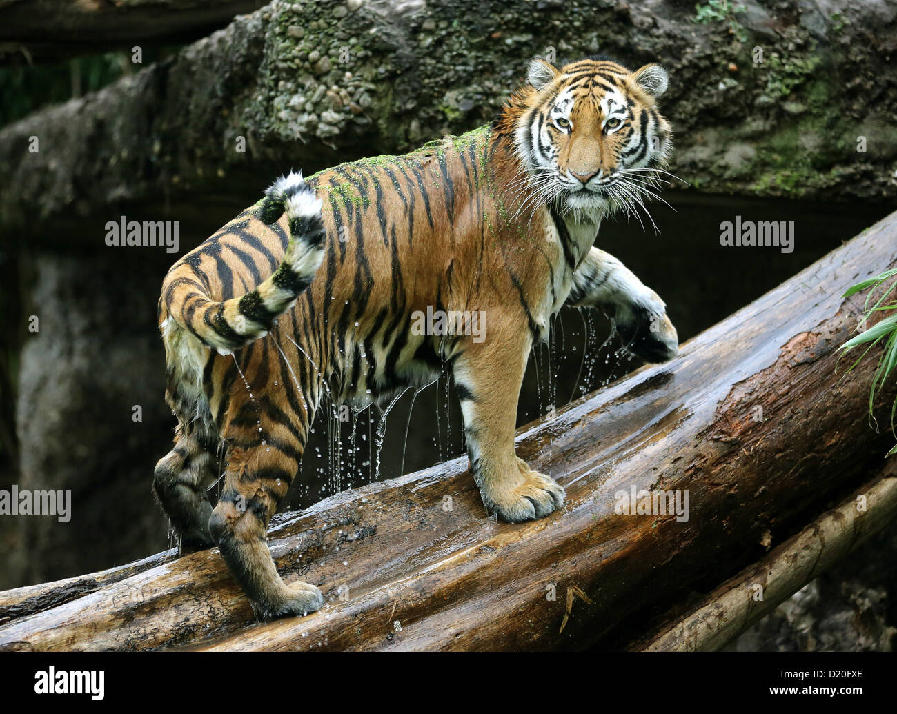 About one and a half year old Siberian tiger Ahimsa is pictured after a swim in the water ditch of his outdoor enclosure - Stock Image
