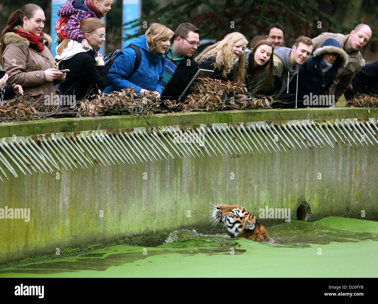 About one and a half year old Siberian tiger Ahimsa takes a swim in the water ditch of his outdoor enclosure and - Stock Image