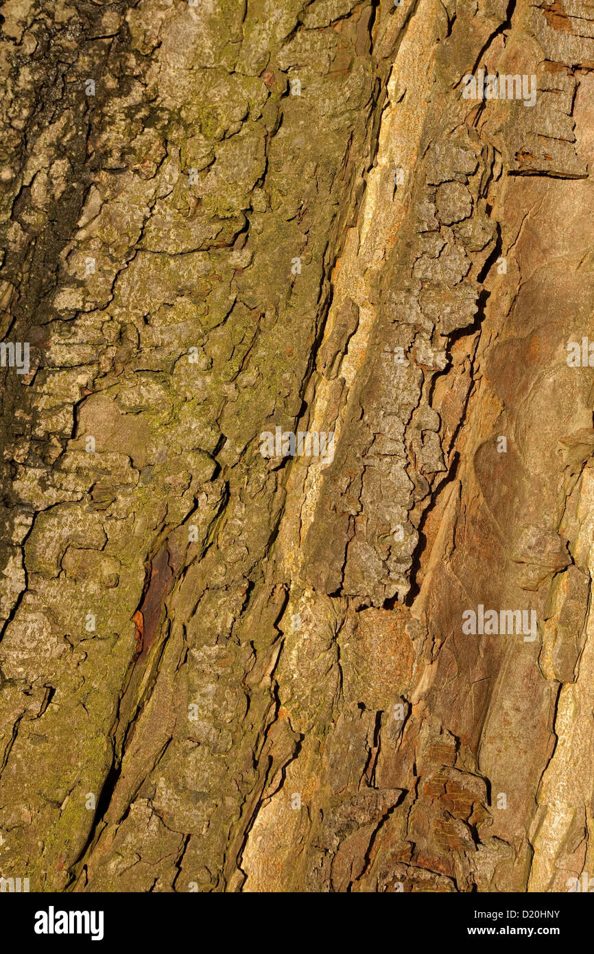 Natural background patterns and textures of horse chestnut tree bark - Stock Image