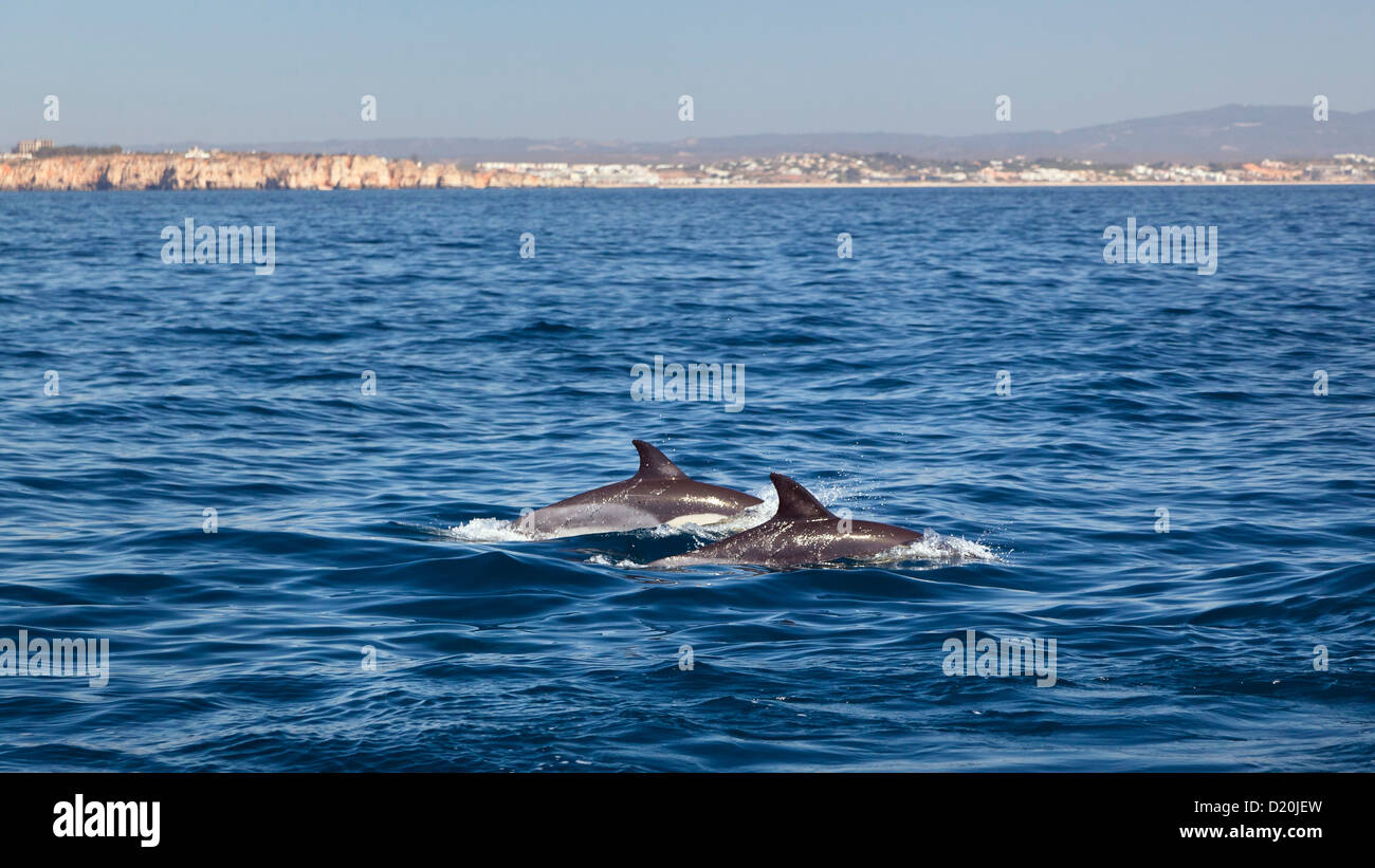 Common Dolphins in the Atlantic Ocean off the Algarve Coast, Portugal - Stock Image