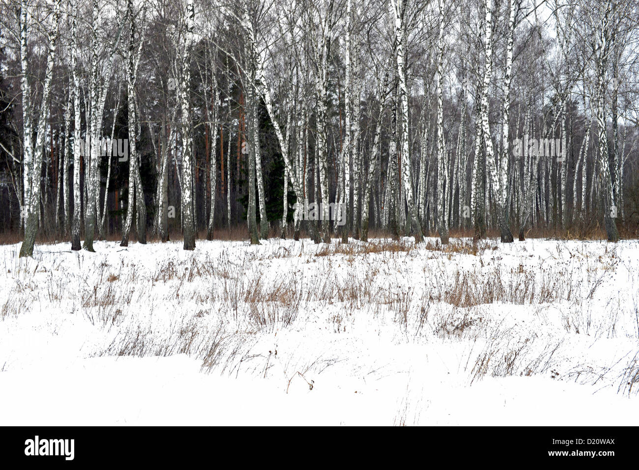 Birch wood in winter. Photo from Russia - Stock Image