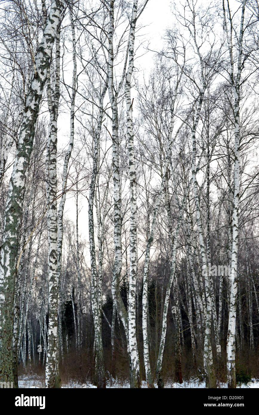 Birch wood in winter Russia, December 2012 - Stock Image