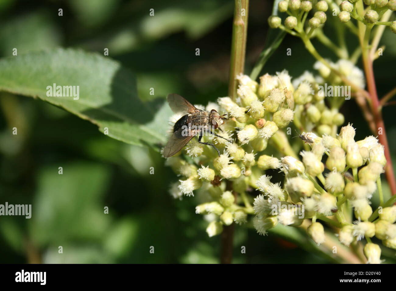 A Brown Eyed Fly On A Bush With Small White Flowers In Cotacachi