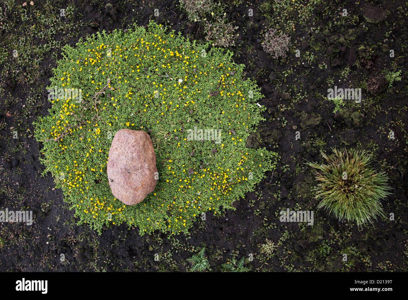 High altitude vegetation at Lauca National Park, near Arica, Tarapaca, Chile, South America - Stock Image