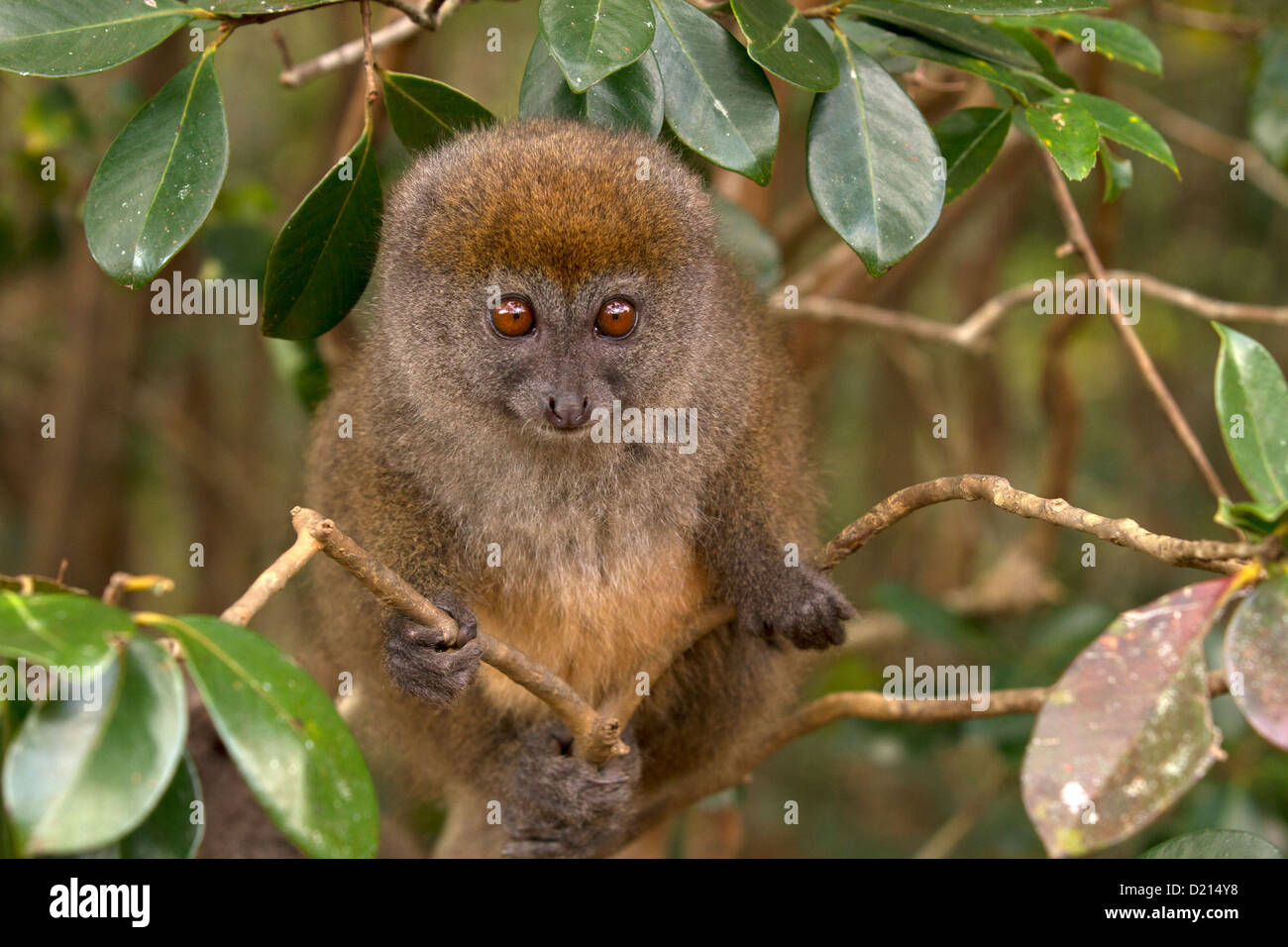 Eastern Grey Bamboo Lemur, Hapalemur griseus, watches - Stock Image