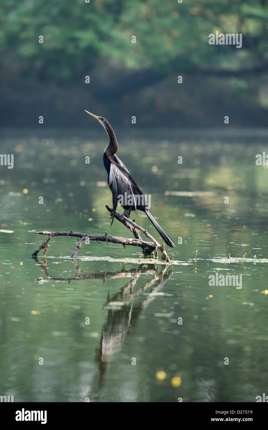 Snake Bird Darter bird - Stock Image