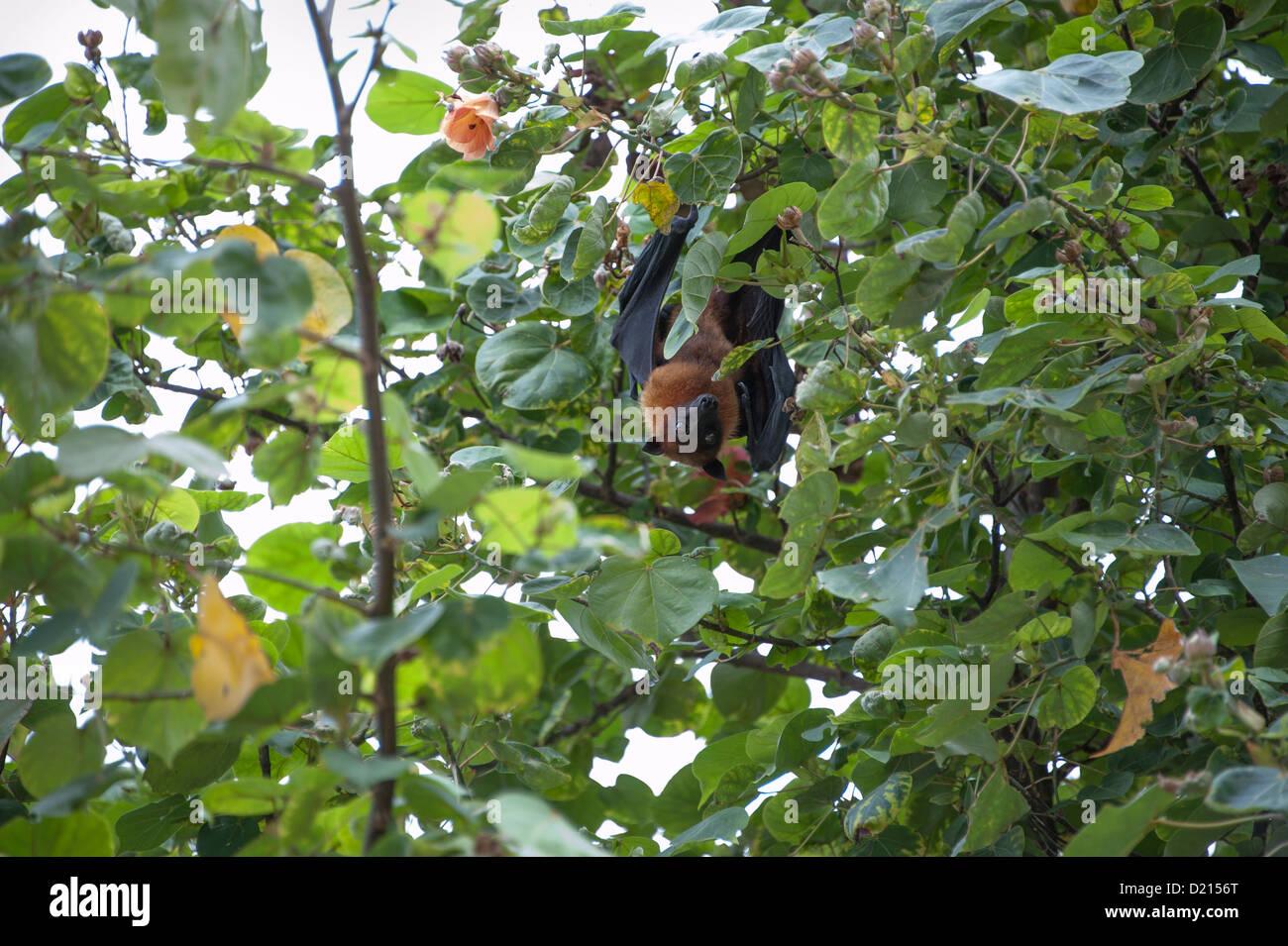 Fruit bat in tree Stock Photo