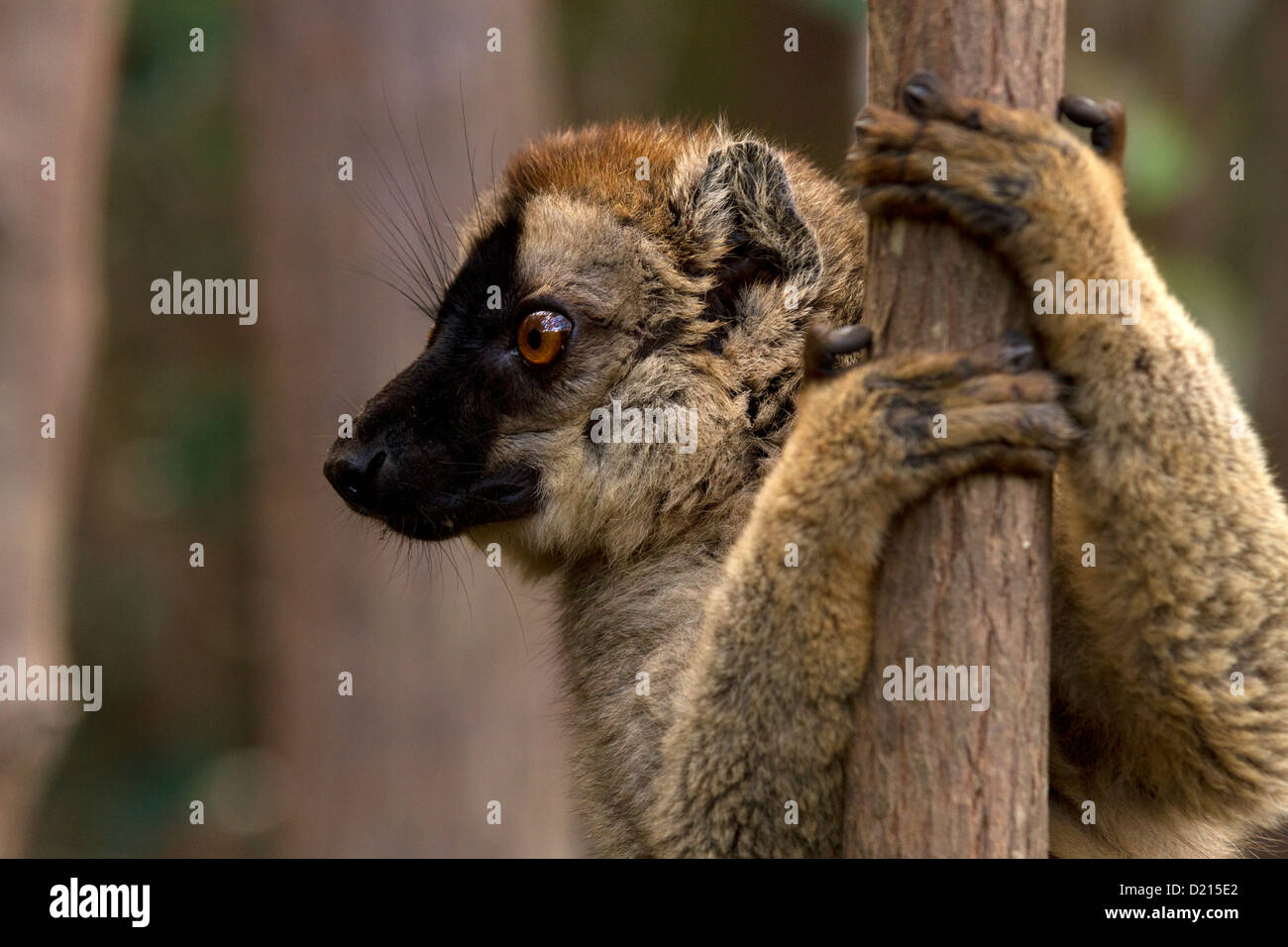 Common Brown Lemur, Eulemur fulvus, clinging to the tree - Stock Image