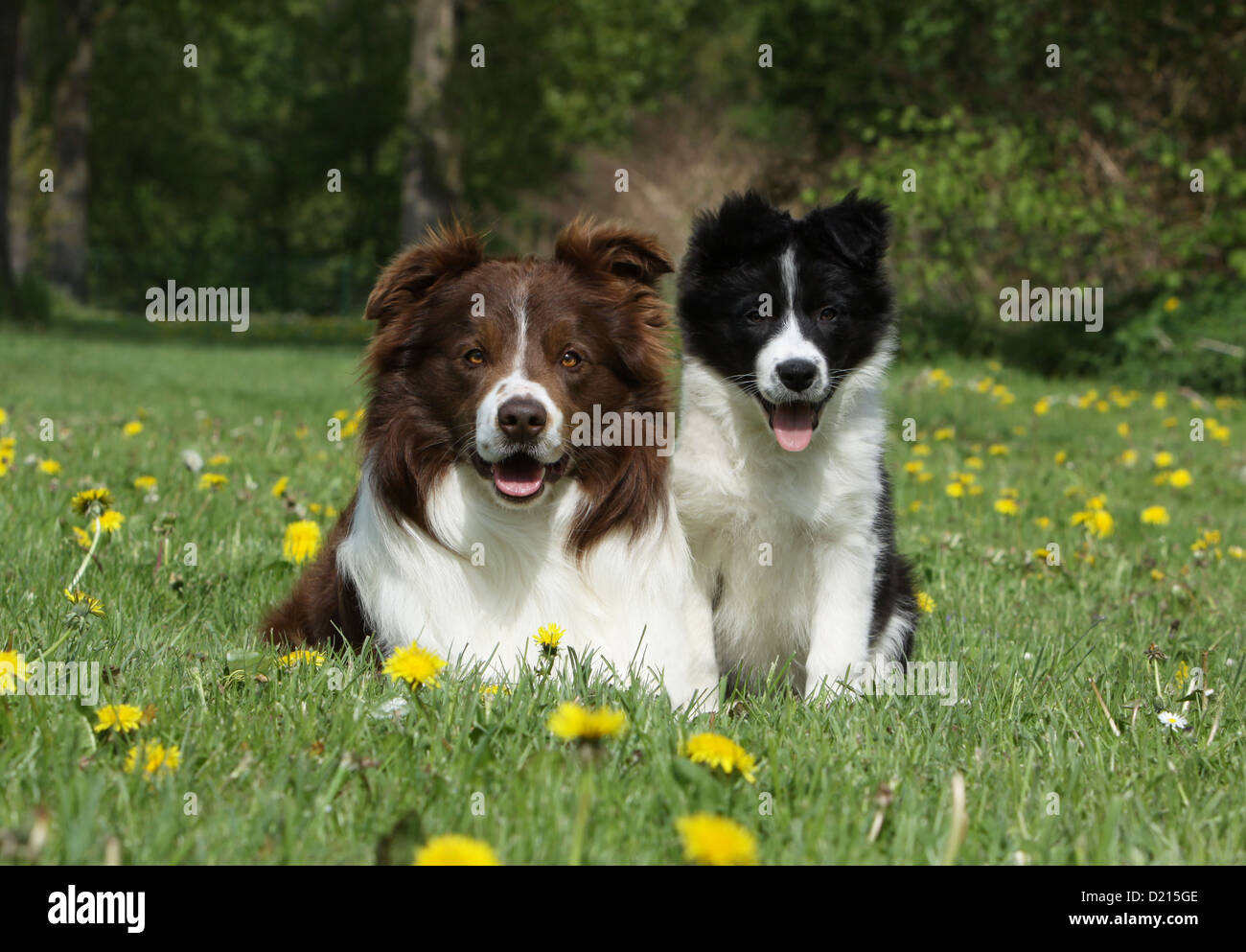Dog Border Collie Adult Red And White And Puppy Black And White