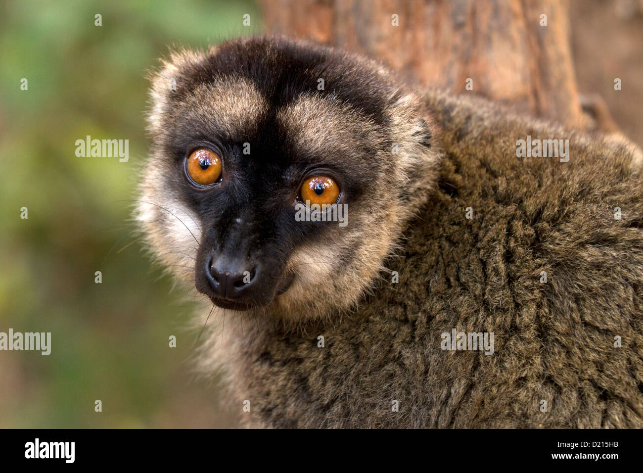 Common Brown Lemur, Eulemur fulvus, watches - Stock Image