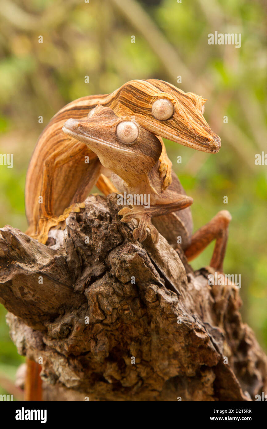 Lined leaf-tail gecko, Uroplatus lineatus on a trunk - Stock Image
