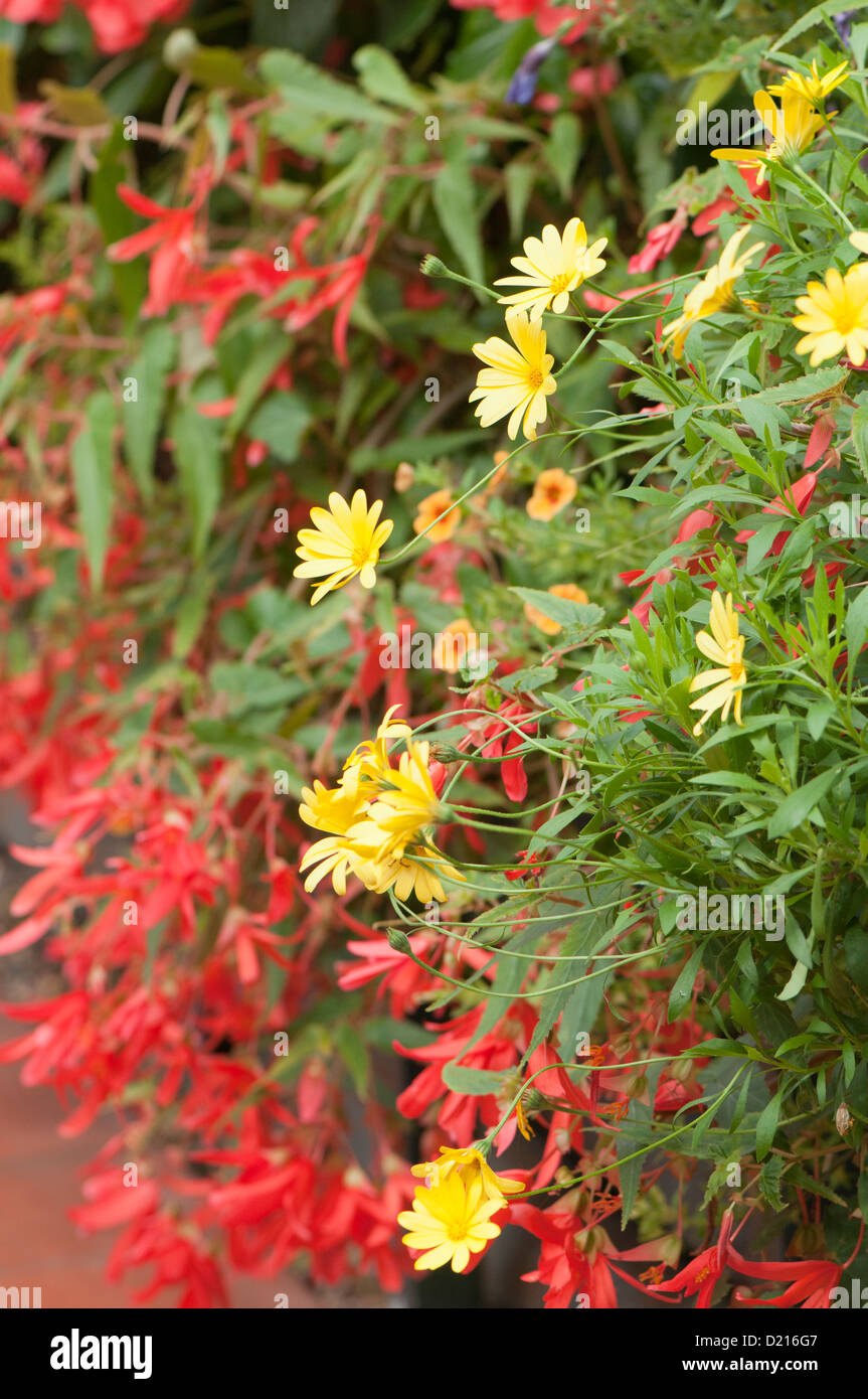 Bright yellow Osteospermums, African Daisies with Begonia 'Million Kisses Devotion' and Calibrachoa 'Can - Stock Image