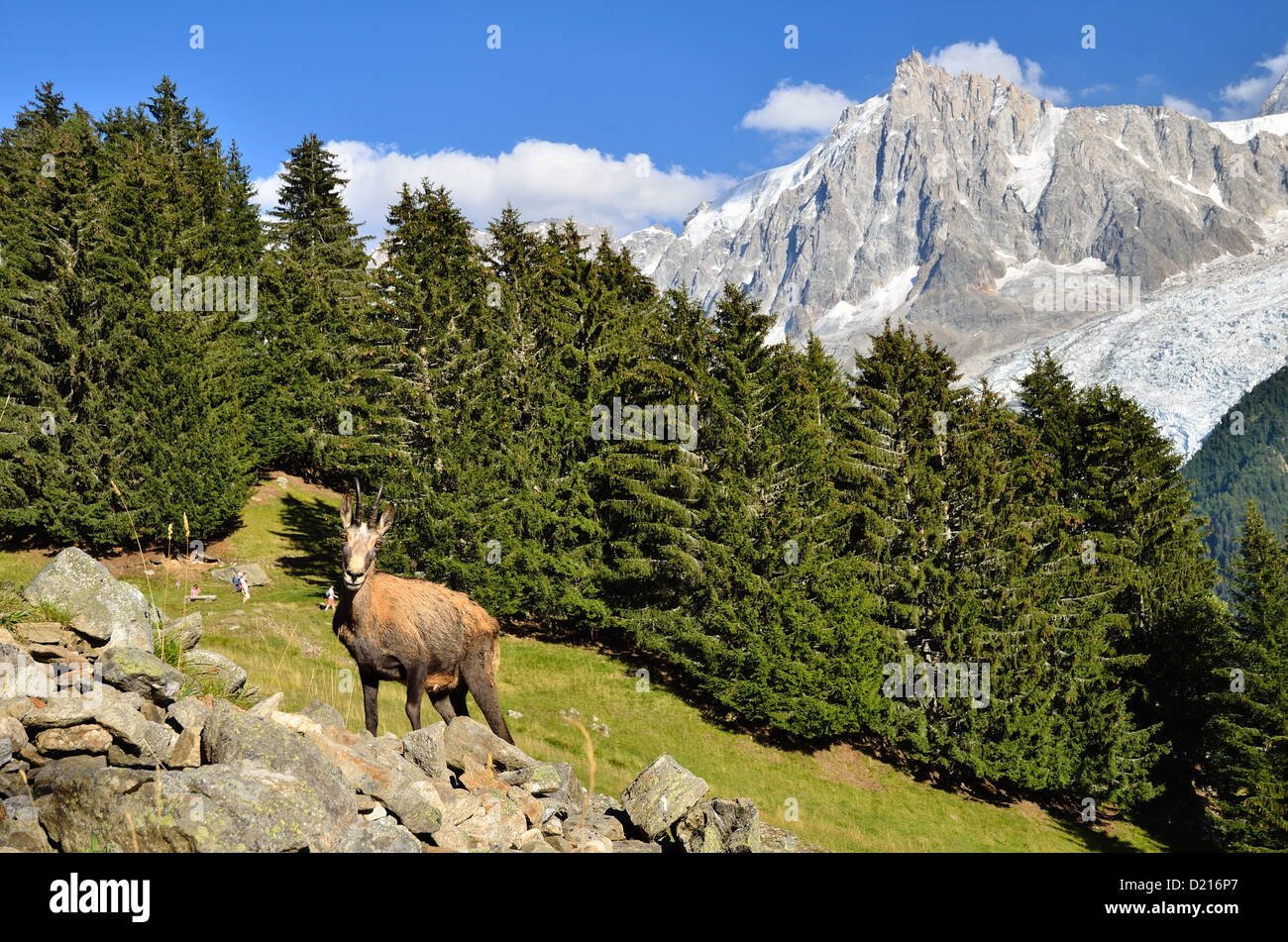 Chamois on Mont Blanc Massif in France, with Aiguille du Midi in background. - Stock Image