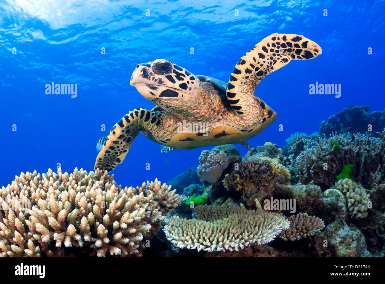 Hawksbill Sea Turtle Eretmochelys imbricata swimming over a Coral Reef, Great Barrier Reef, Coral Sea, Queensland, Stock Photo