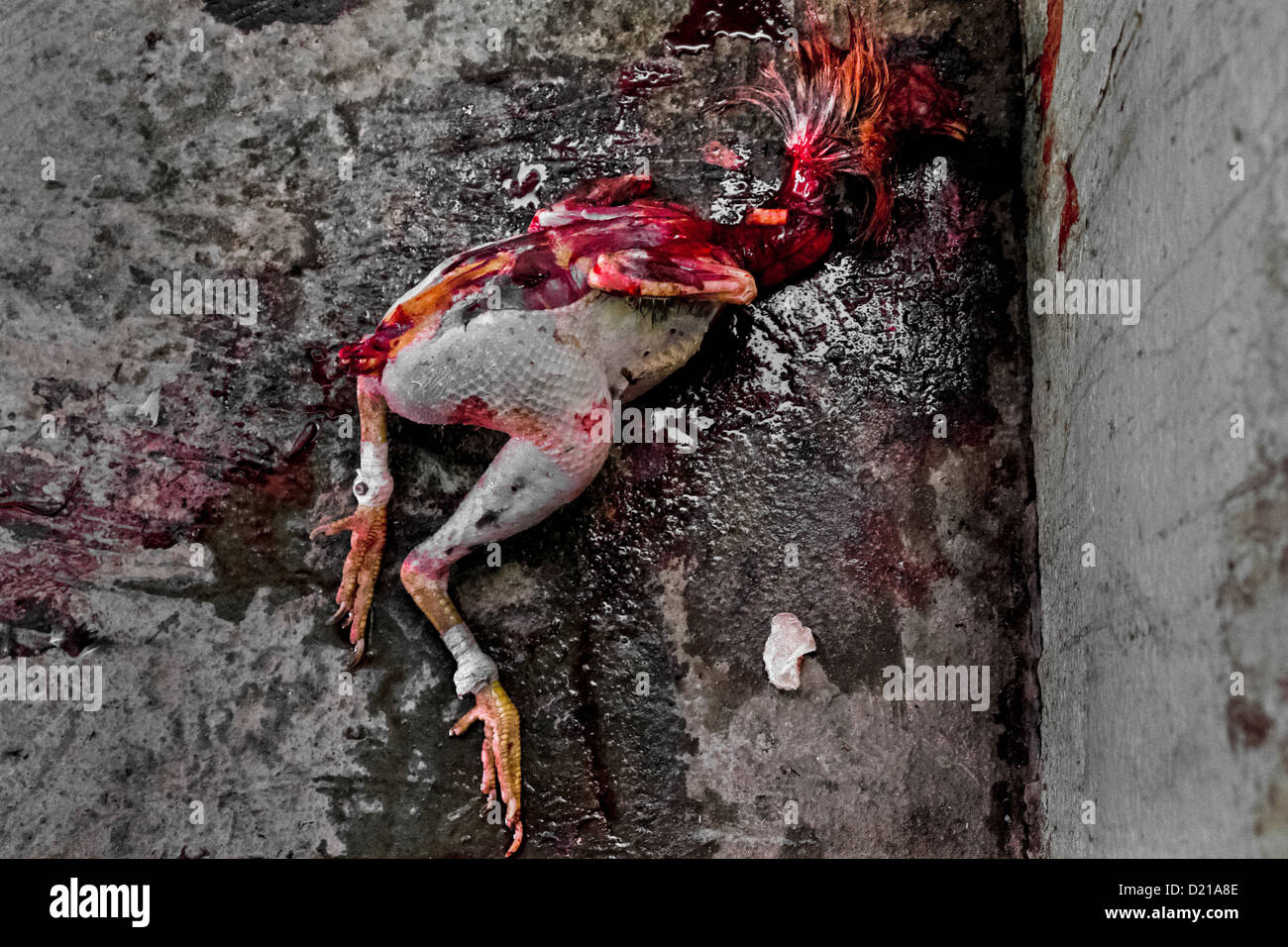 a-dead-mutilated-body-of-a-fighting-cock