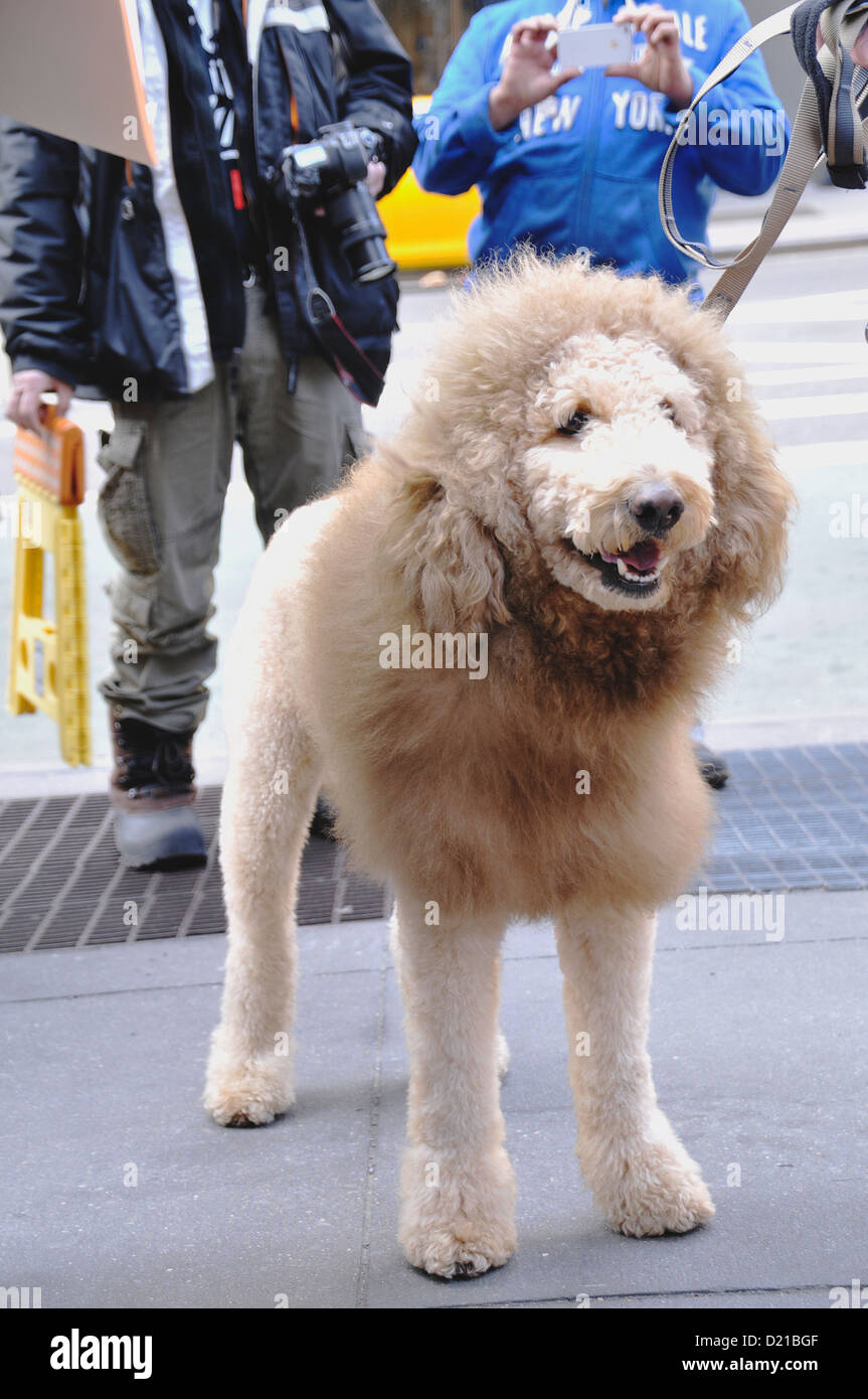 Charles the Lion Dog. EDITORIAL USE ONLY. NO COMMERCIAL USES. Stock Photo