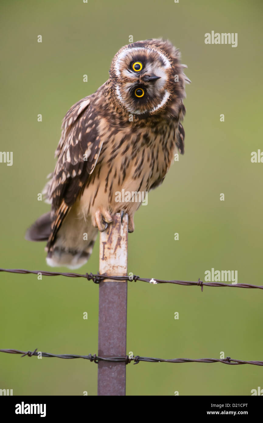 A short-eared owl (Asio flammeus) demonstrates the flexibility of an owl's neck, Western Montana - Stock Image