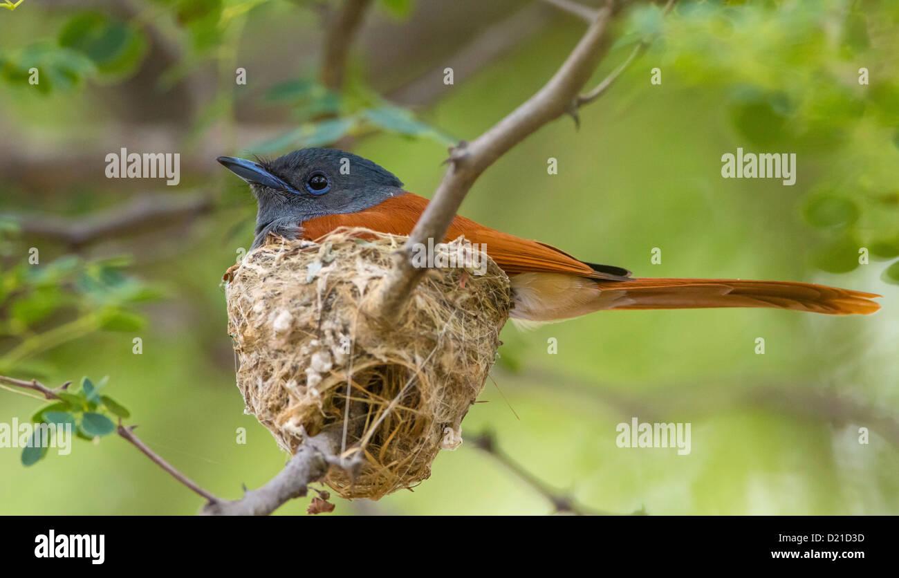 paradise flycatcher on nest Stock Photo