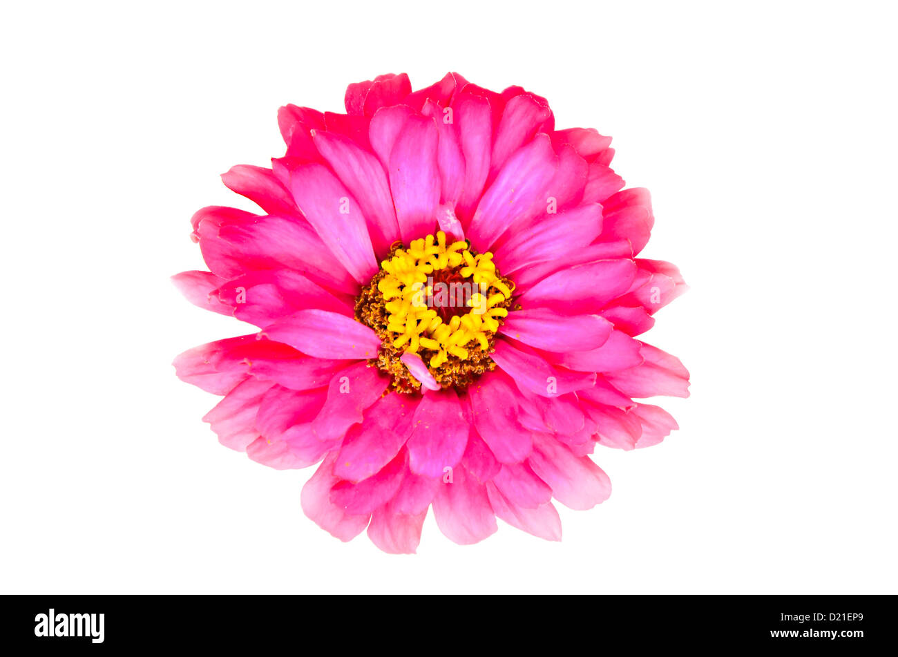 magenta zinnia flower on green background - Stock Image