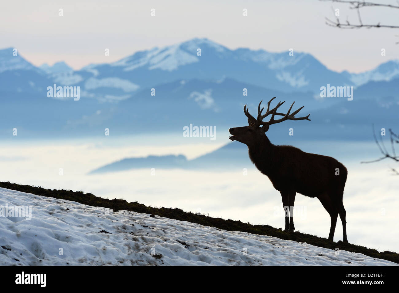 A stag roars in front of the Alps and the fog-covered valley pictured on the Pfaender mountain, Austria, 09 January - Stock Image