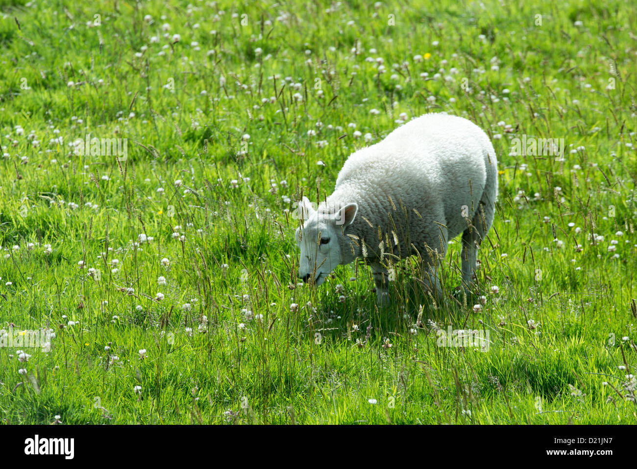 Sheep on meadow, Orkney Islands, Scotland, United Kingdom - Stock Image