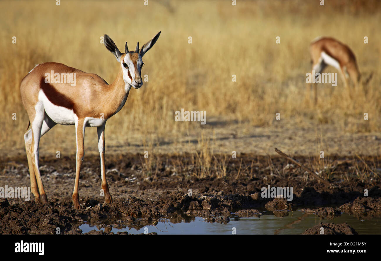 Springbok, Central Kalahari Game Reserve, Botsuana, wildlife - Stock Image