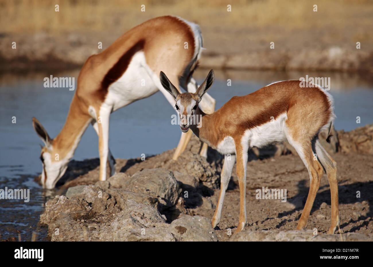 Springboks, Central Kalahari Game Reserve, Botsuana, wildlife - Stock Image