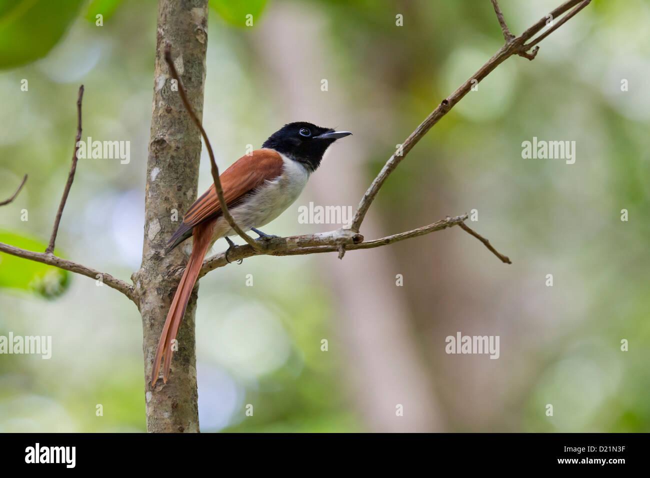 Seychelles Paradise Flycatcher Stock Photo