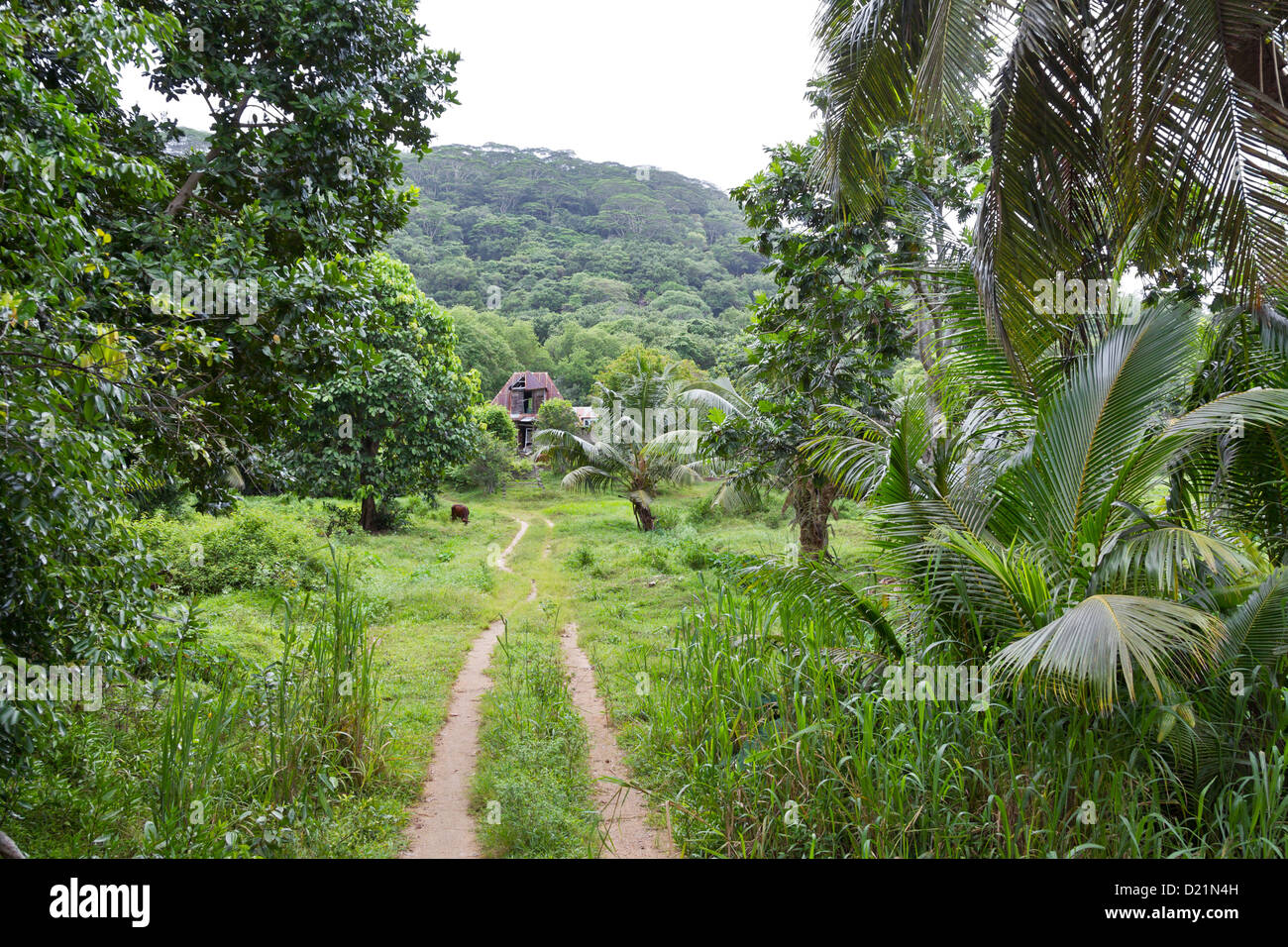 tropical rainforest forest jungle palm seychelles - Stock Image