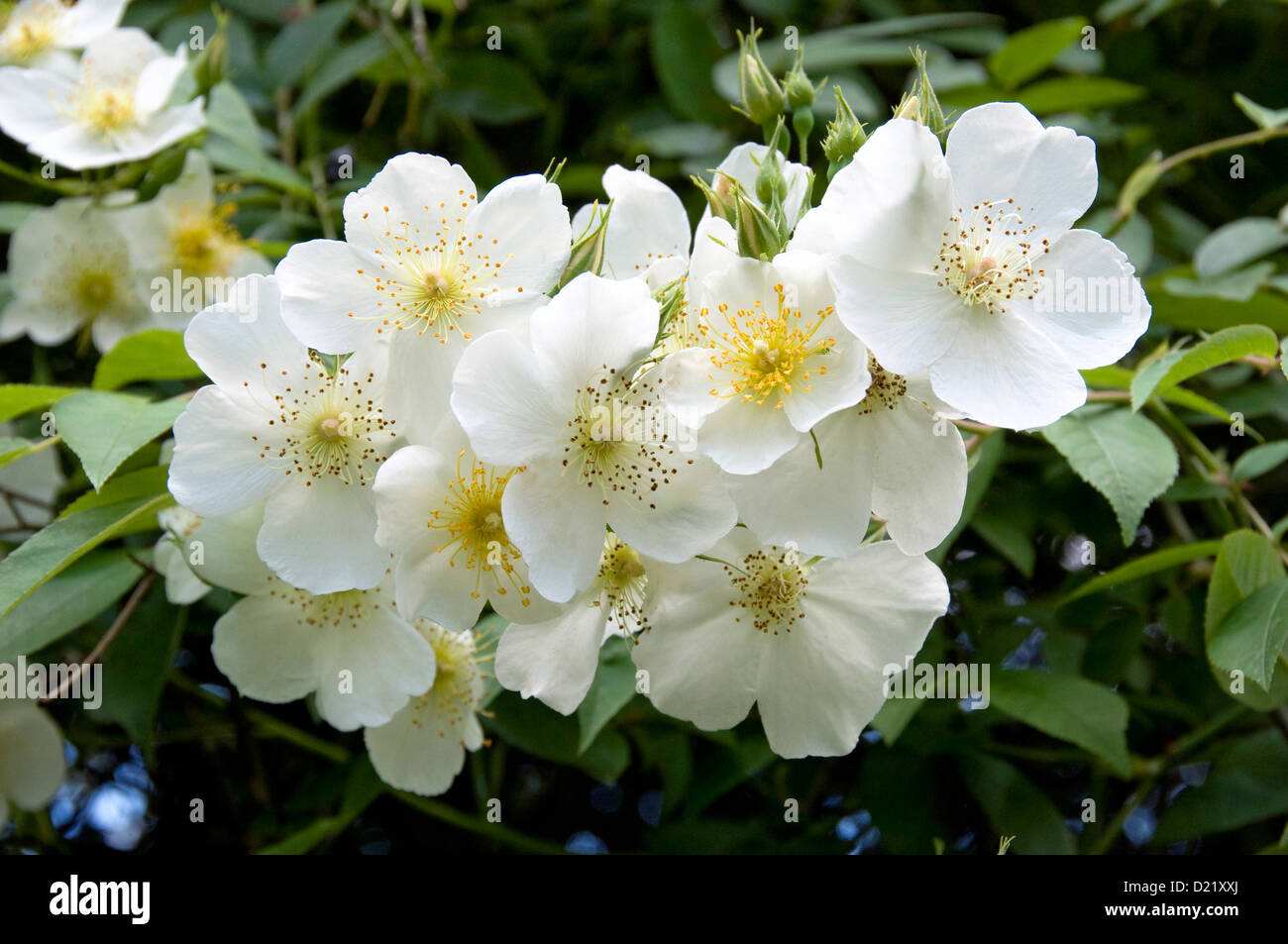 Rosa Rambling Rector Rose - Stock Image
