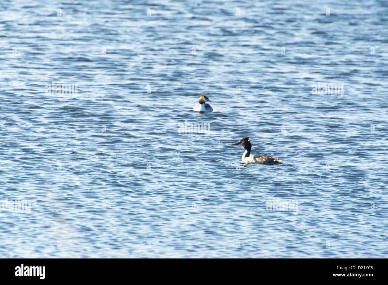 Swimming couple Great Crested Grebes Stock Photo